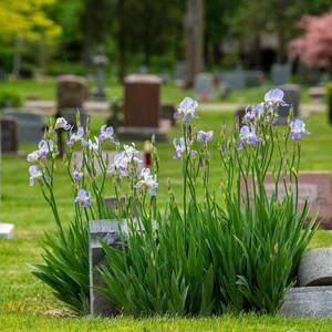 Irises by Grave